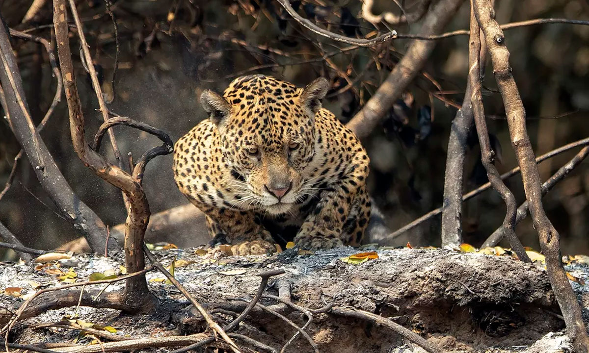 A luta pela sobrevivência da onça-pintada em meio às queimadas históricas no Pantanal