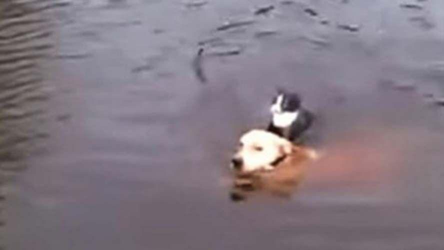 Cão pula no rio para salvar gato que estava se afogando