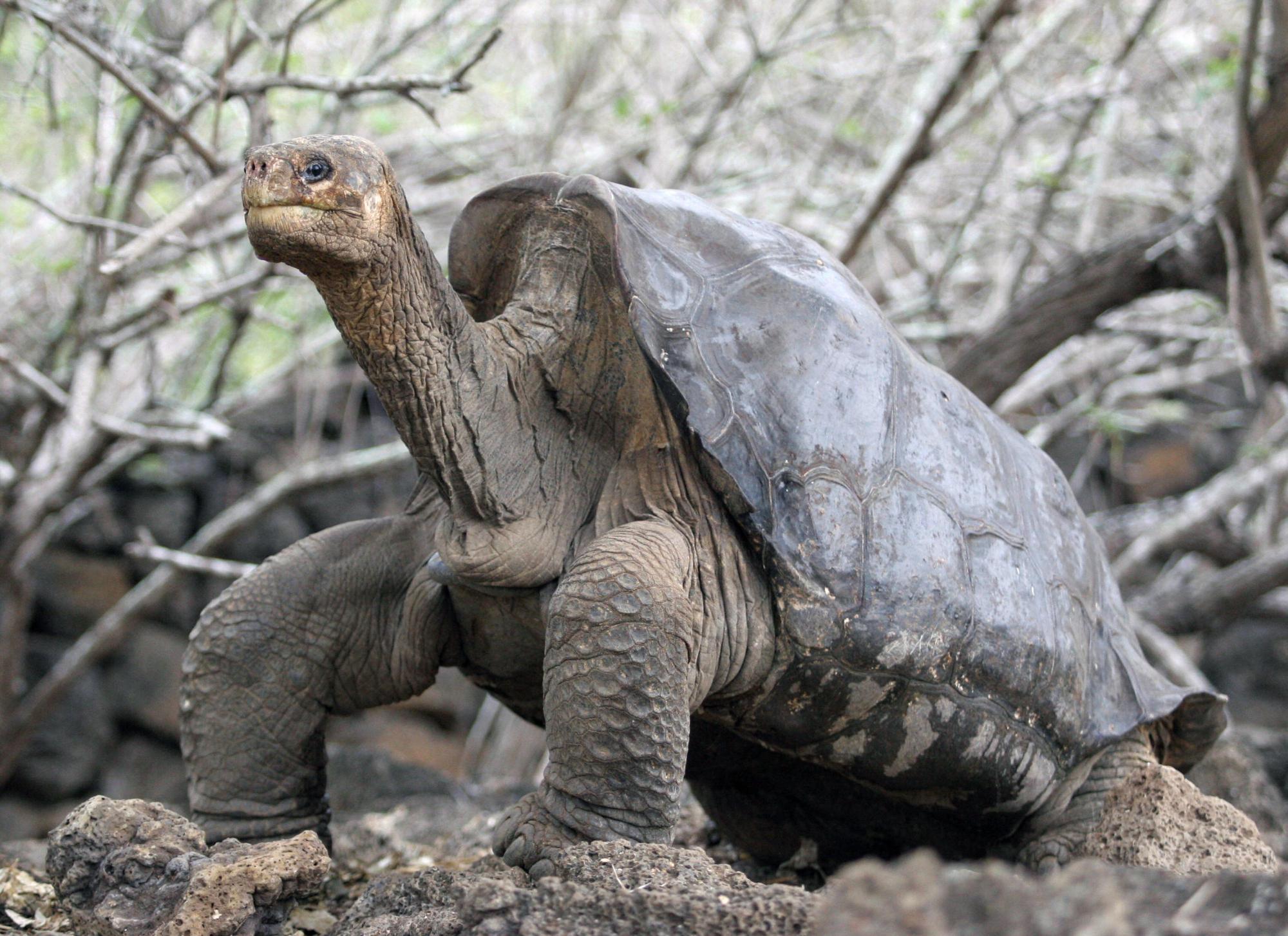 Expedição nas Galápagos encontra tartarugas que eram consideradas extintas