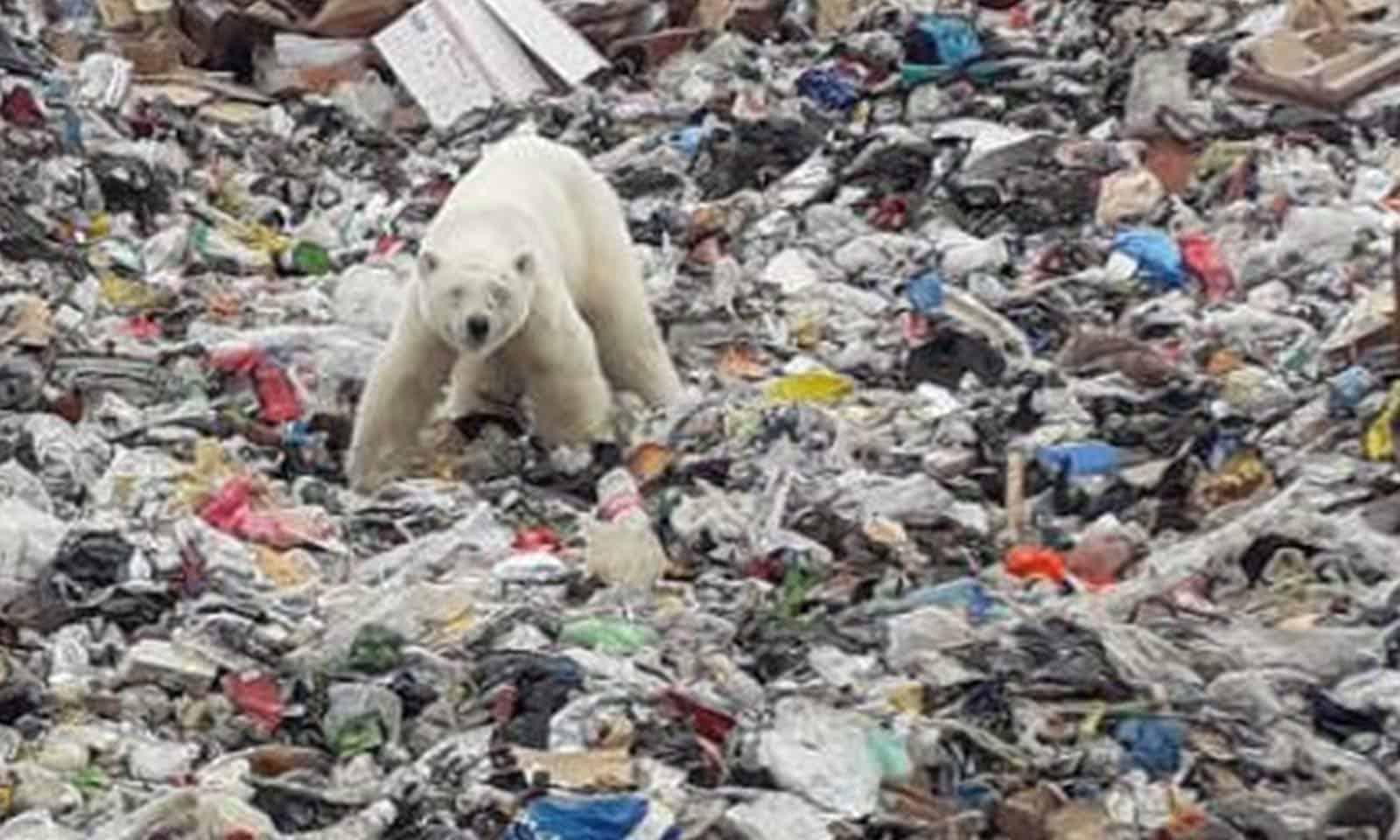 Urso polar é visto revirando lixo a 800 km de seu habitat